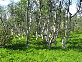 Träd, Fjällbjörk i Borgafjäll