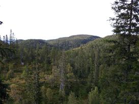 Träd, Gran i Borgafjäll