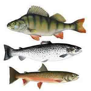 Fisk i Borgafjäll